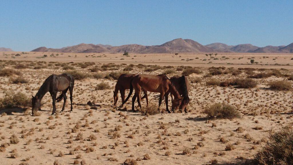 Die Namibian Wild Horses finden hier nur wenig nährstoffreiches Gras