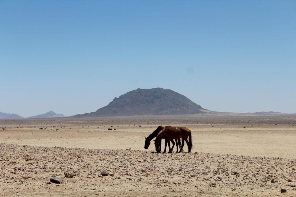 Die Namib-Pferde in der Garub-Wüste in Namibia