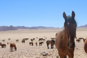 Read more about the article Namib-Pferde – sind die Wüstenpferde von Namibia immer noch wild?