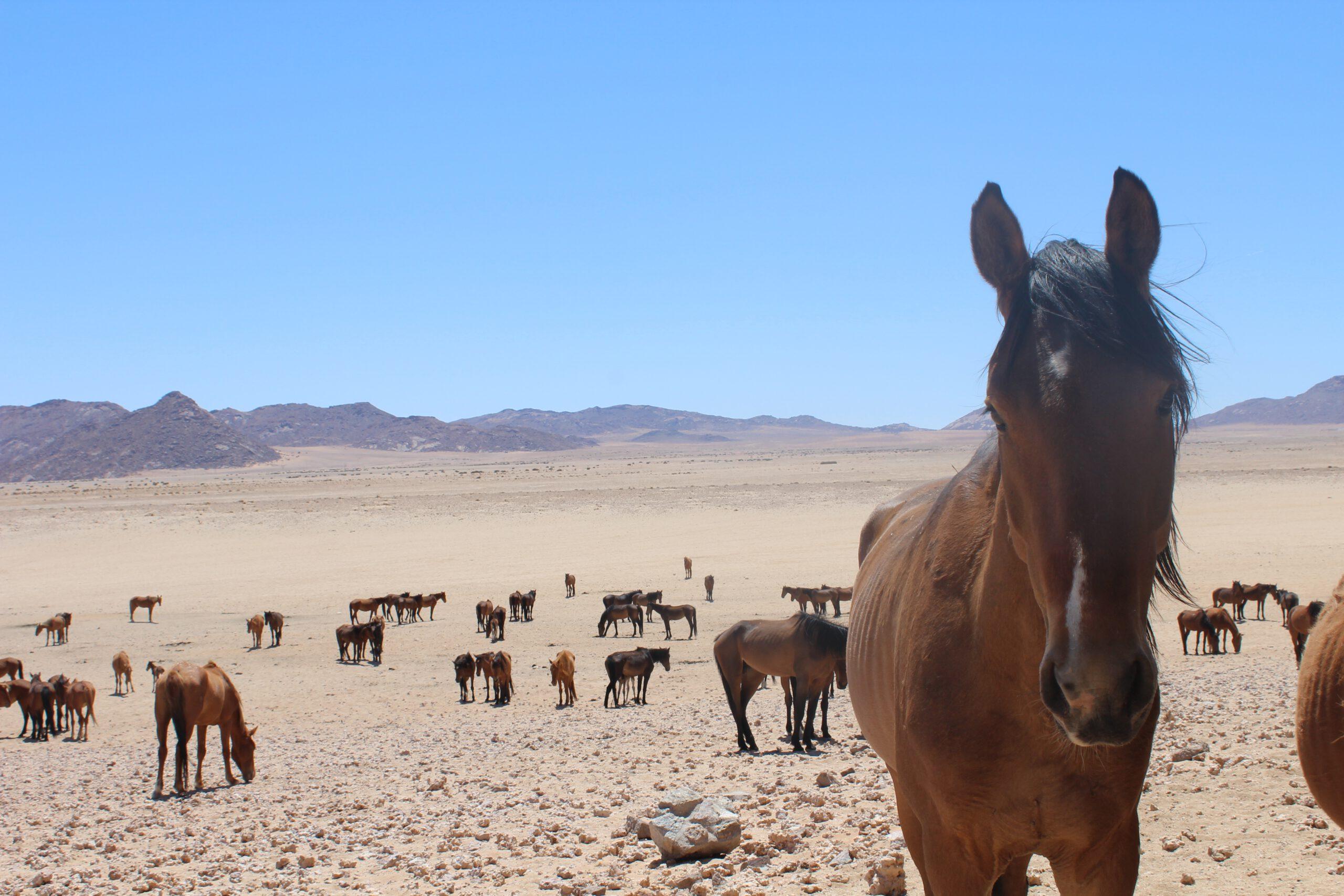 Namib-Pferde – sind die Wüstenpferde von Namibia immer noch wild?