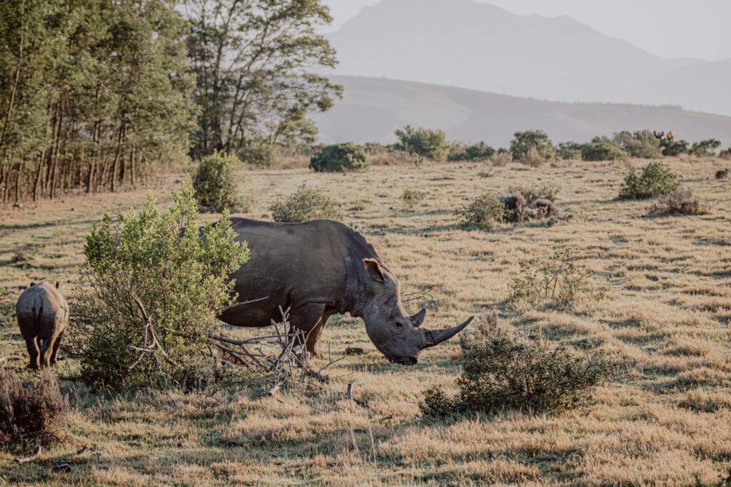 Vor der Hochzeit - Breitmaulnashörner auf der Safari