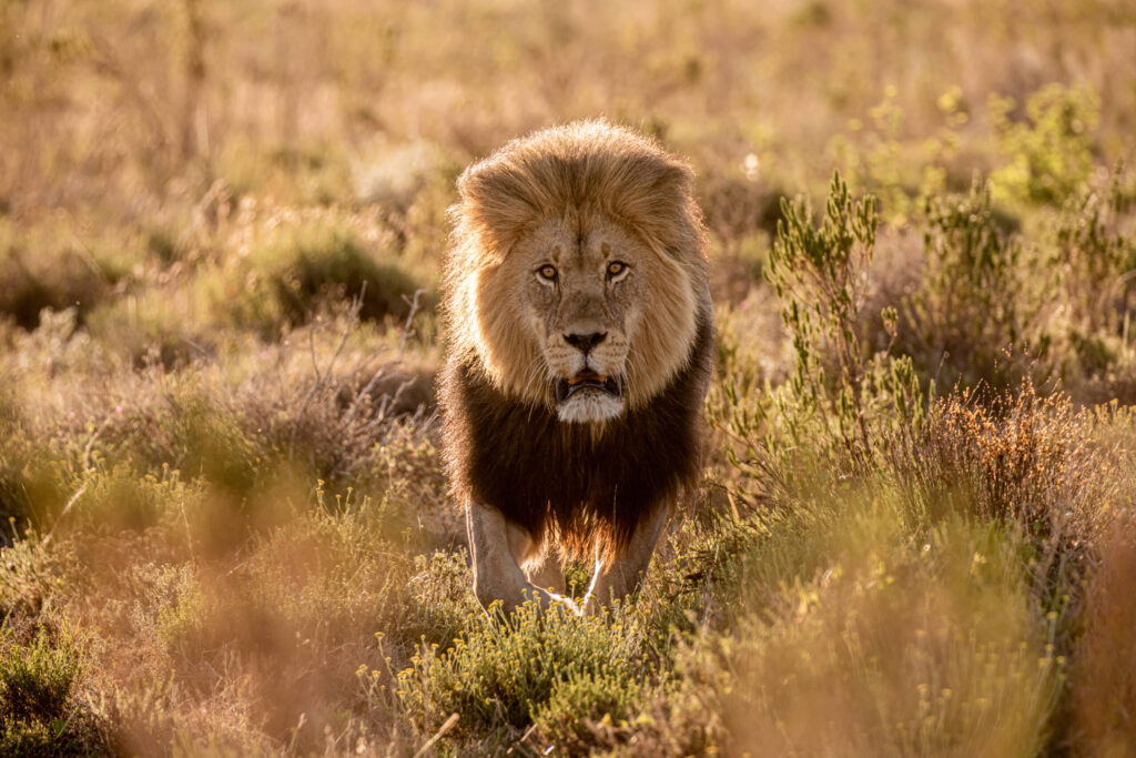 Zur Safari-Hochzeit hat sich der Löwe die Mähne extra schön gekämmt