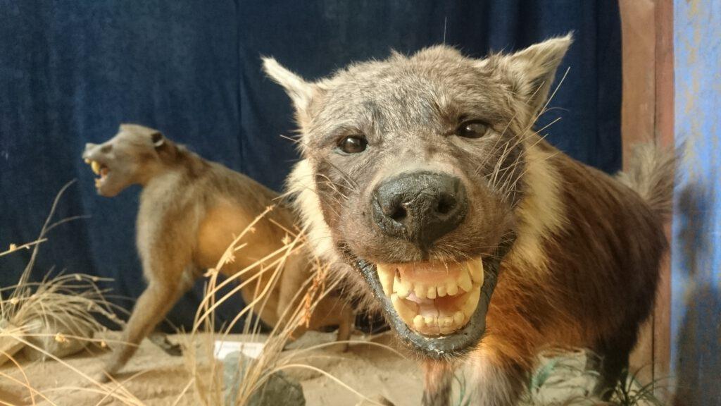 Ausgestopfte Hyäne in einem Museum in Namibia